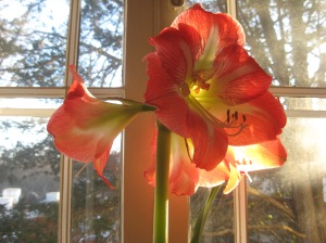 Amaryllis in the dead of winter.